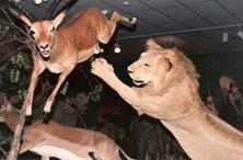 smgazelle-lion